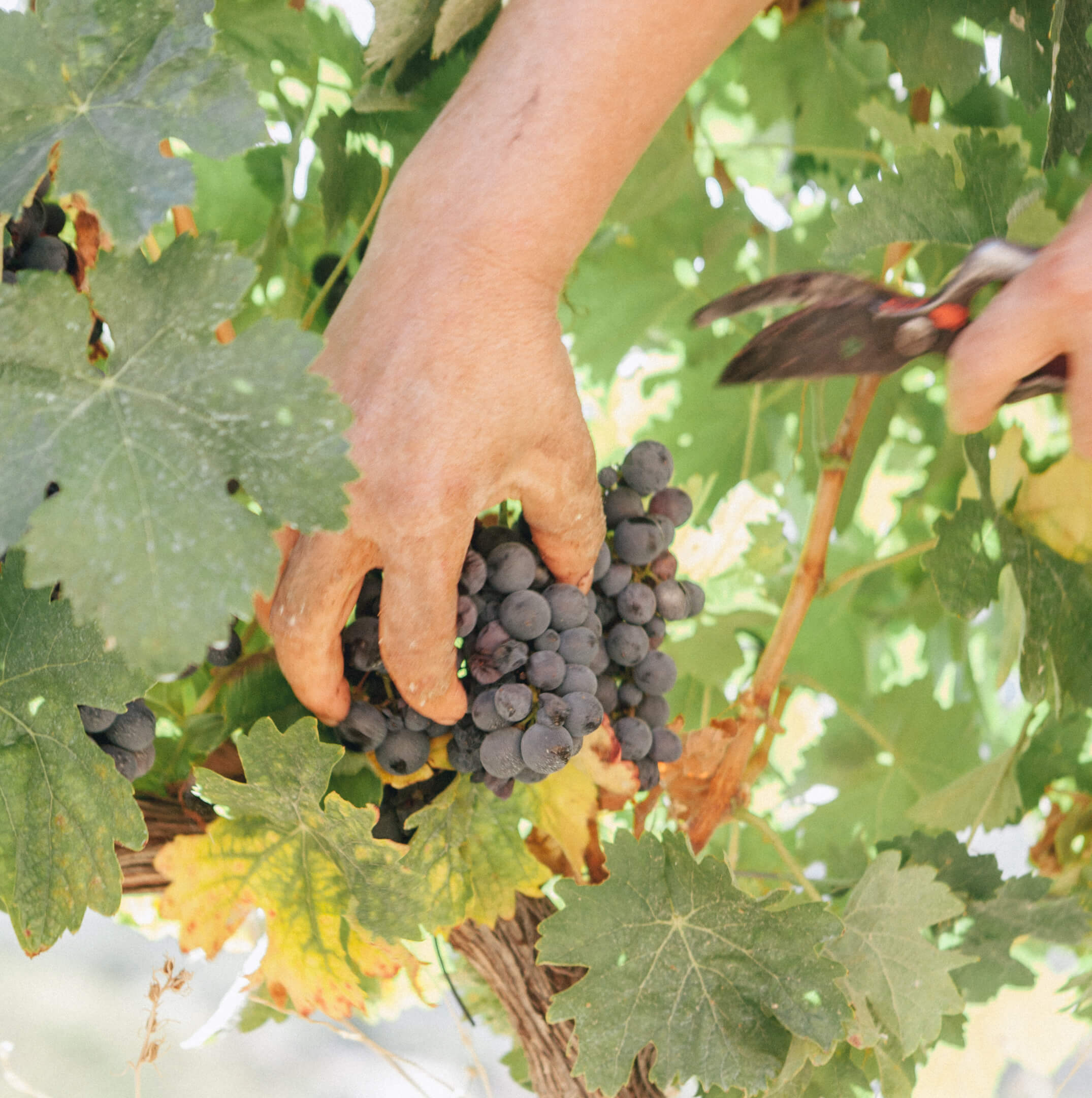 Harvest 2020: Aveleda with an excellent vintage in sight